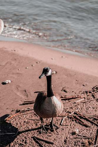 photo bird Canada goose on shore goose free for commercial use images