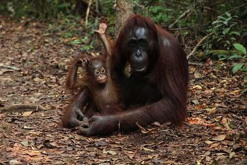 monkey Chimpanzee hugging baby on land orangutan