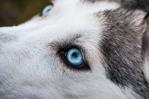 pet close-up photography of Siberian husky dog