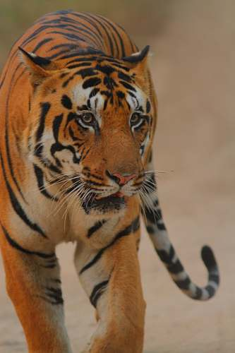 mammal close-up photography of tiger tiger