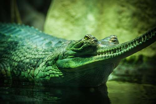 crocodile closeup photo of green and gray alligator in body of water reptile
