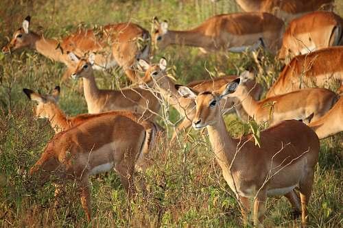 antelope deer eating grass during daytime gazelle