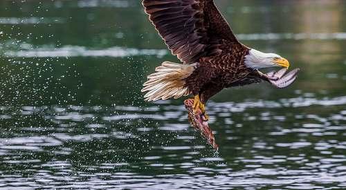 bird eagle fetching fish eagle