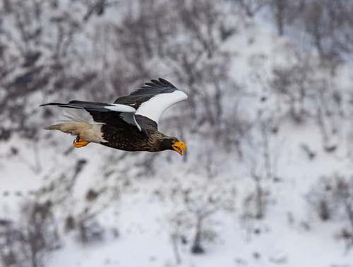 bird eagle on flight eagle