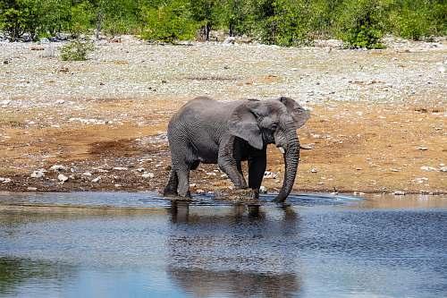 mammal elephant walking on lake during daytime elephant