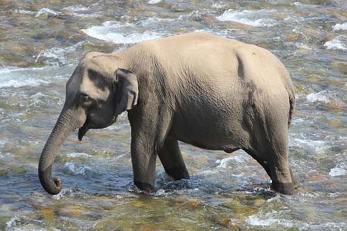 mammal elephant walking on lake elephant
