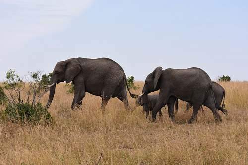 elephant family of elephant on safari mammal