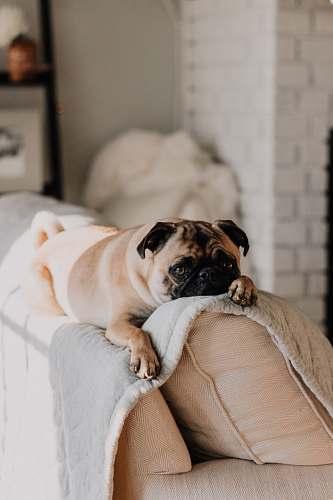 dog fawn pug lying on gray blanket pet