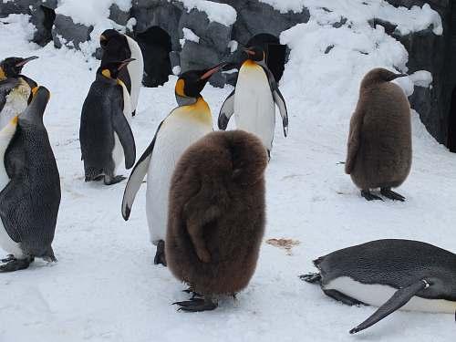 bird flock of penguin king penguin
