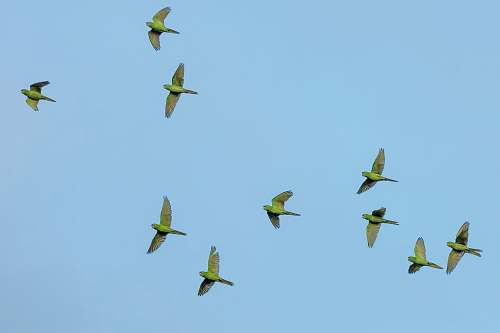 photo bird flock of yellow bird flying wings free for commercial use images
