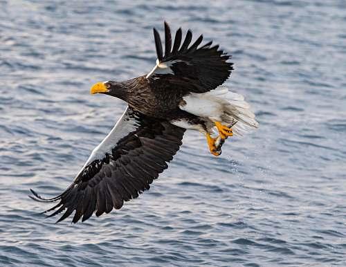 eagle flying black and white bird bird