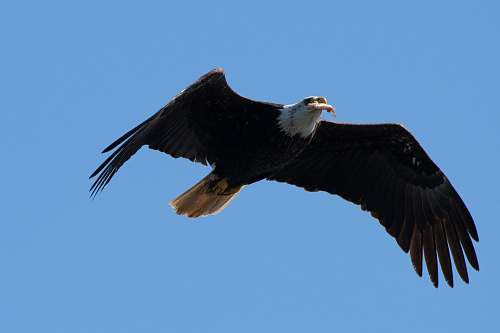 bird flying eagle during day bald eagle