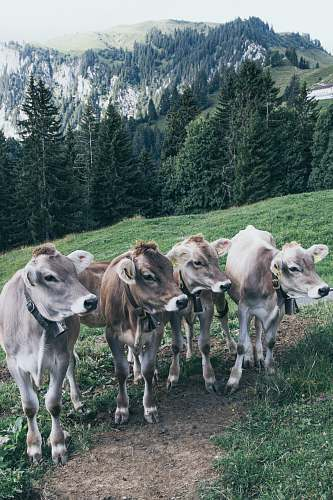 mammal four brown and grey cows cattle