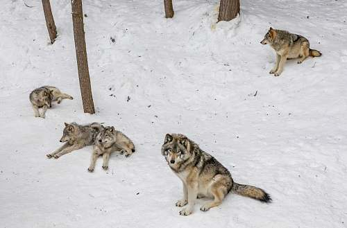 mammal four wolves on snow coyote