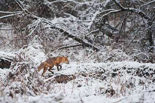 snow fox walking on snow fox