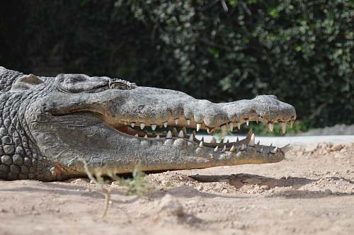 alligator gray alligator opening mouth while lying on sand during daytime crocodile