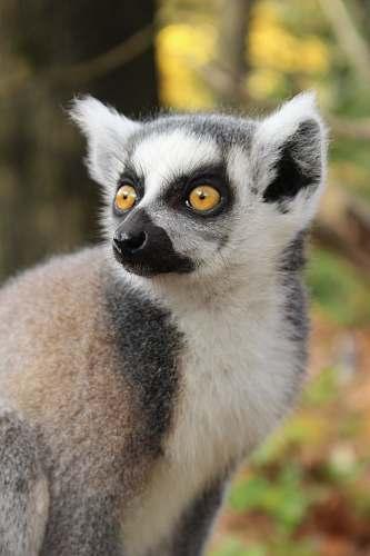 lemur gray animal in focus photography monkey