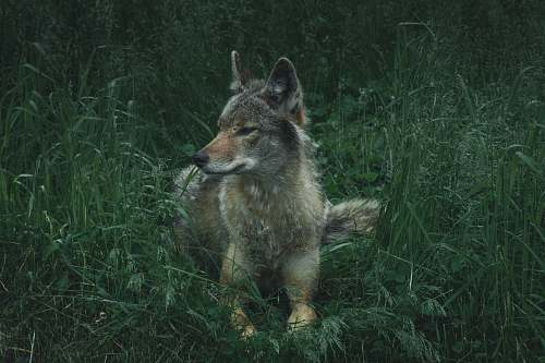 canine gray, brown, and white wolf on lying green grass coyote