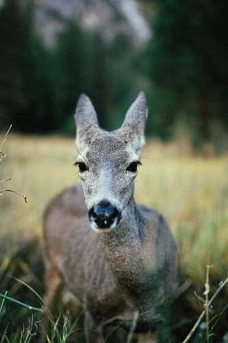 deer gray deer standing on grassland during daytime selective focus photography wildlife