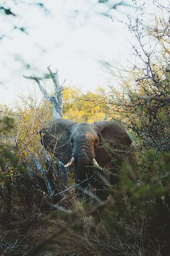wildlife gray elephant in woods elephant