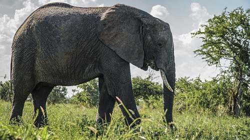 mammal gray elephant standing on grass field during daytime elephant