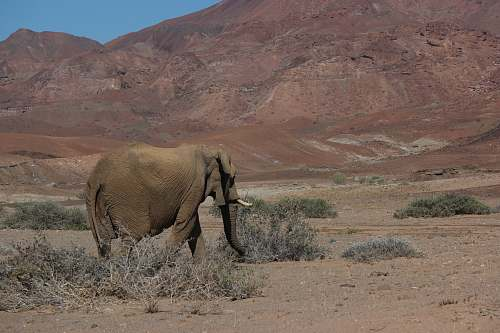 mammal gray elephant walking on desert elephant