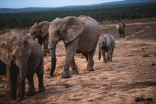 mammal gray elephants elephant
