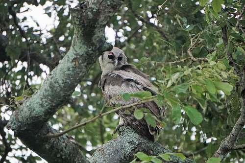 bird gray owl on tree accipiter