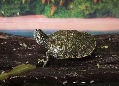 reptile gray tortoise on focus photography sea life