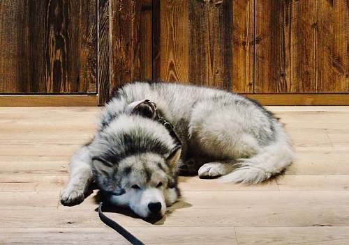 dog gray wolf husky