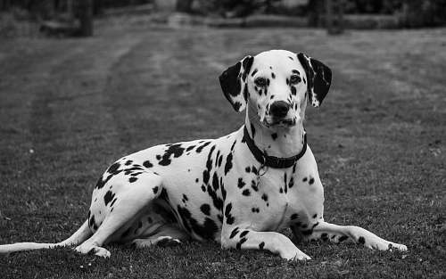 black-and-white grayscale photo of Dalmatian laying on grass field dog