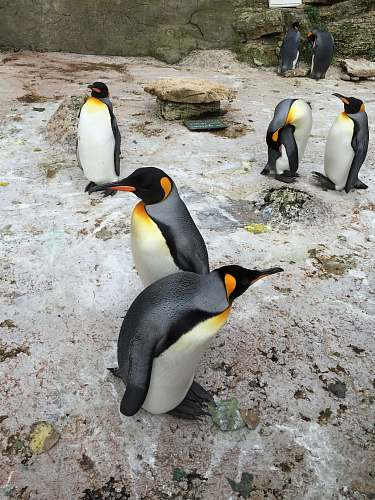 bird group of penguins on focus photography penguin