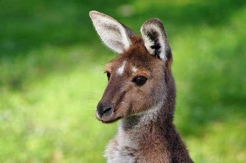 kangaroo Kangaroo photo wallaby