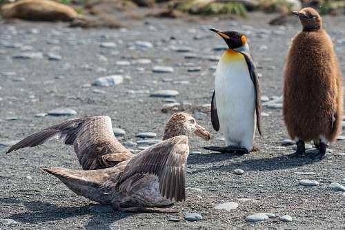 bird king penguin and white penguin standing near gray bird penguin