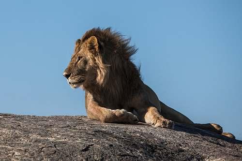 wildlife lion laying on ground facing sideways lion