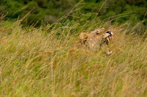 mammal lion on grass field during daytime lion