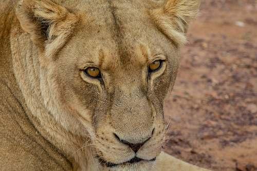 wildlife lioness animal lion