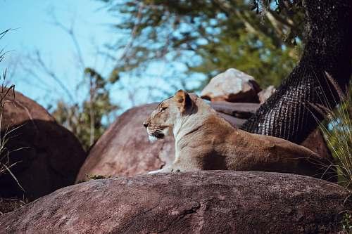 mammal lioness on rock lion