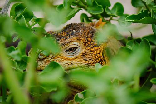 iguana lizard on vegetation close-up photography lizard