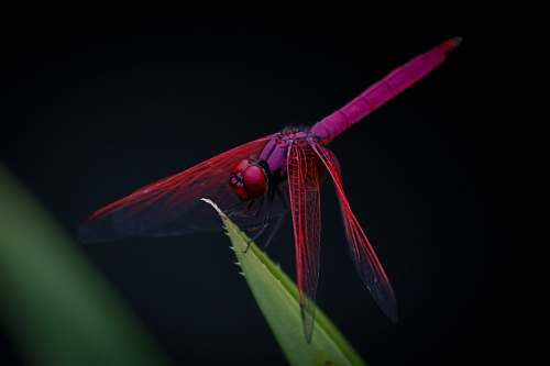photo dragonfly macro photography of red dragongly insect free for commercial use images
