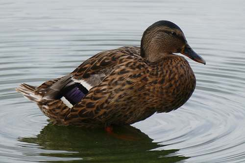 photo bird mallard duck in body of water waterfowl free for commercial use images