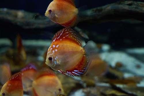 photo fish orange discus fish aquatic free for commercial use images