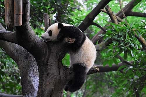 wildlife panda climbing on tree giant panda