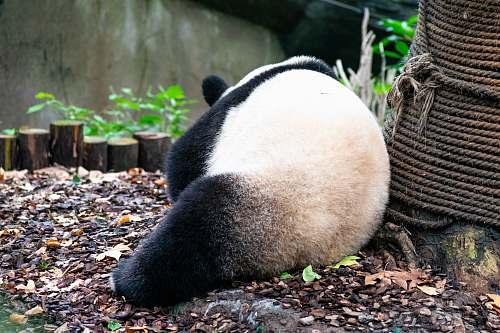 bear panda leaning on rope giant panda