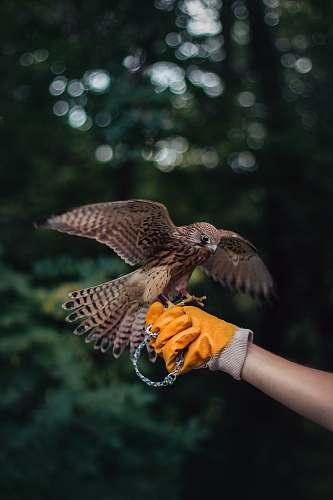 bird person holding brown eagle accipiter
