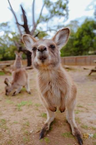 kangaroo photo of beige coated animal mammal