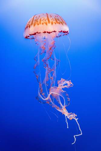 sea life pink and orange jellyfish jellyfish