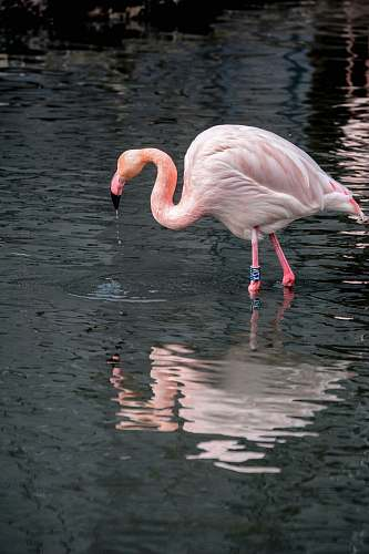 photo bird pink flamingo on body of water during daytime water free for commercial use images
