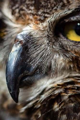 bird portrait of brown owl beak