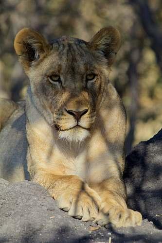 mammal portrait of tigress lion